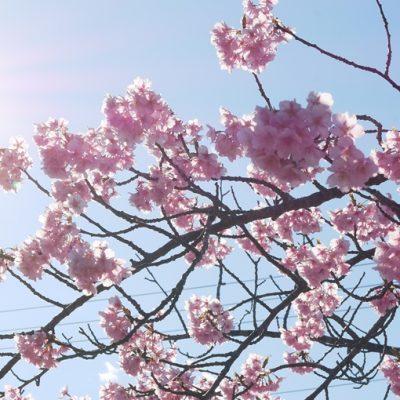 白子の河津桜
